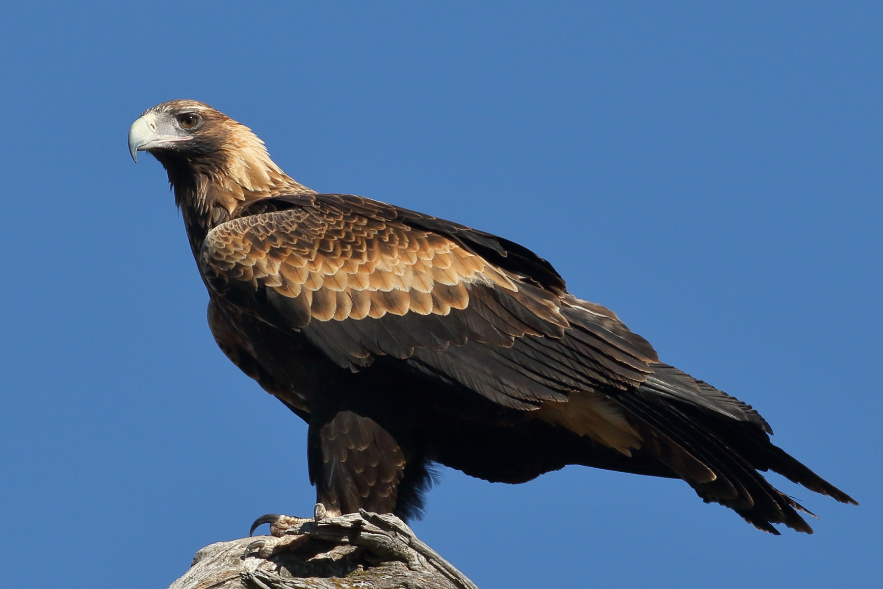 Wedge-tailed Eagle (Image ID 39914)
