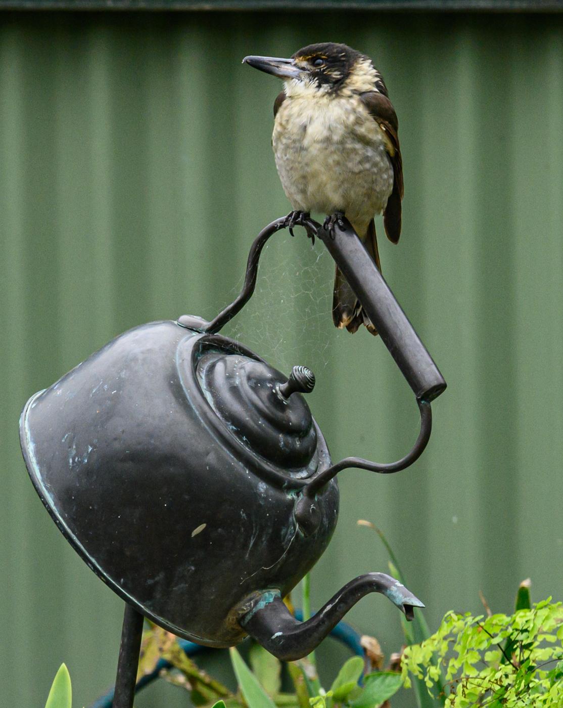 Grey Butcherbird (Image ID 40095)