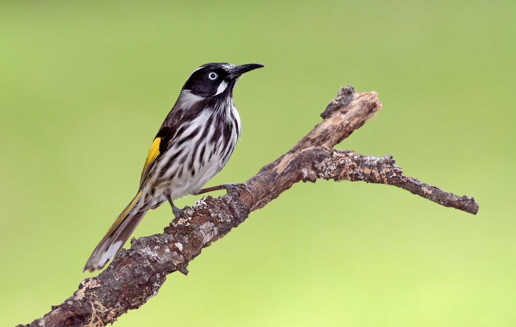 New Holland Honeyeater (Image ID 40118)