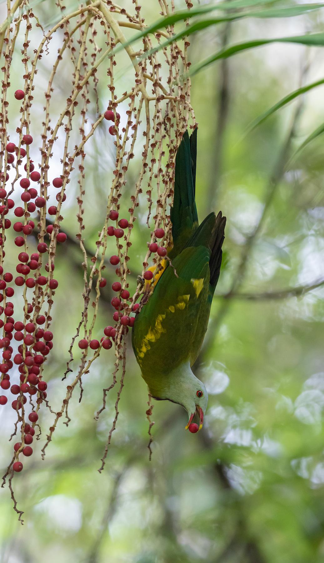 Wompoo Fruit-Dove (Image ID 39988)