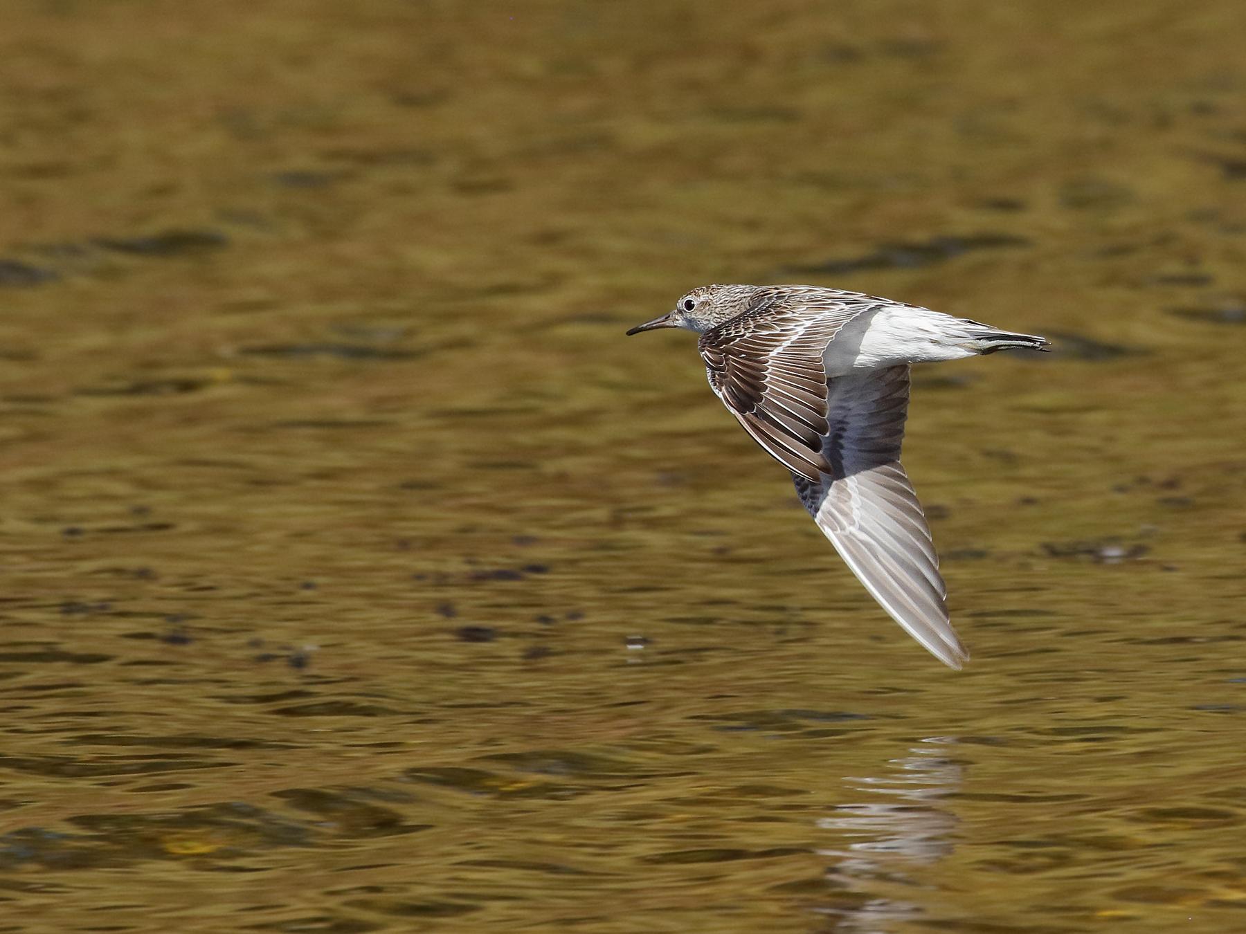 Sharp-tailed Sandpiper (Image ID 40064)
