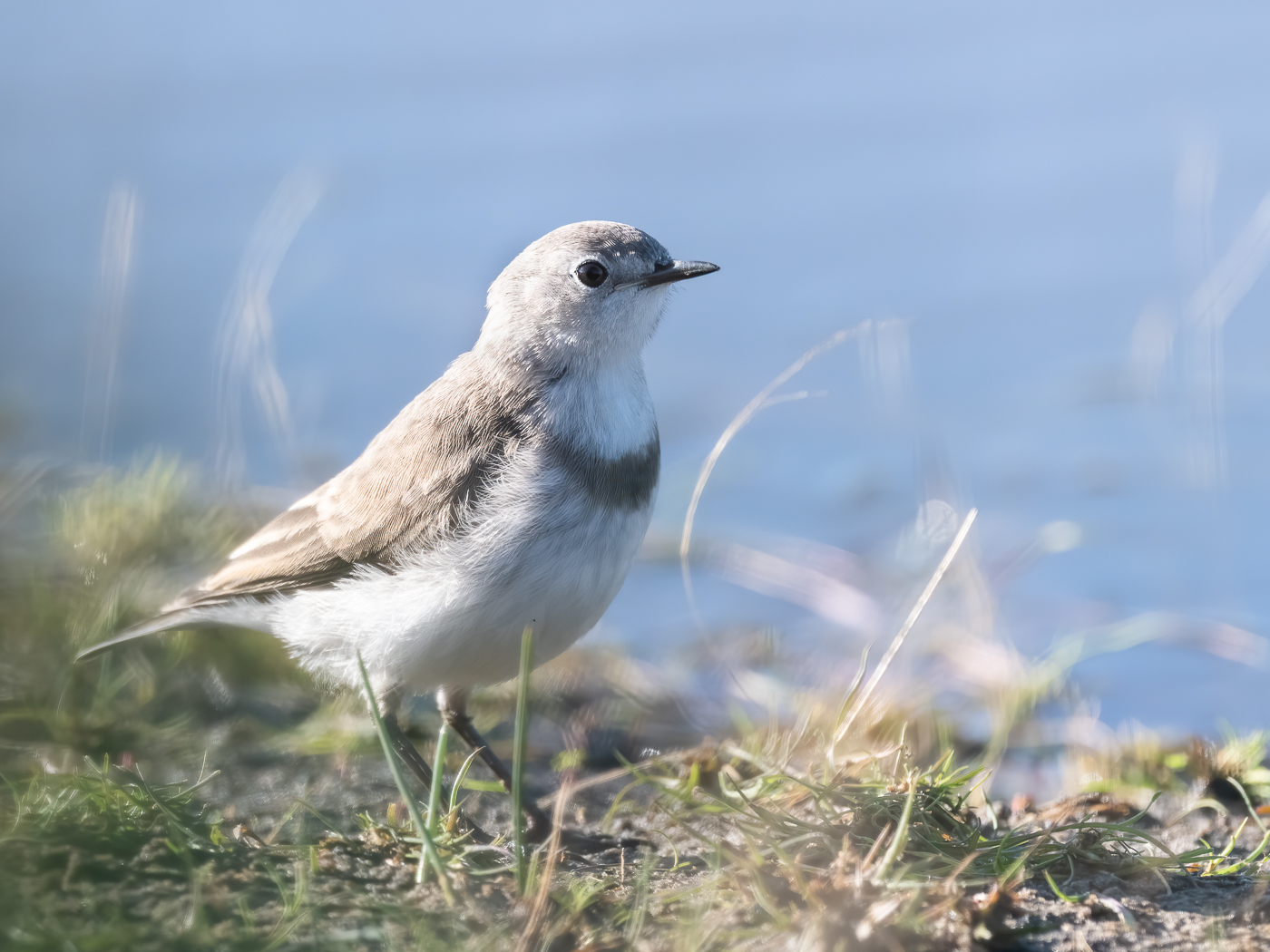 White-fronted Chat (Image ID 40160)
