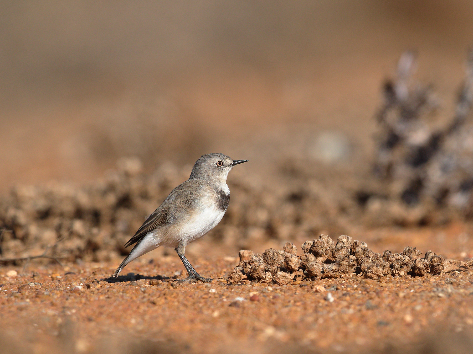 White-fronted Chat (Image ID 39985)