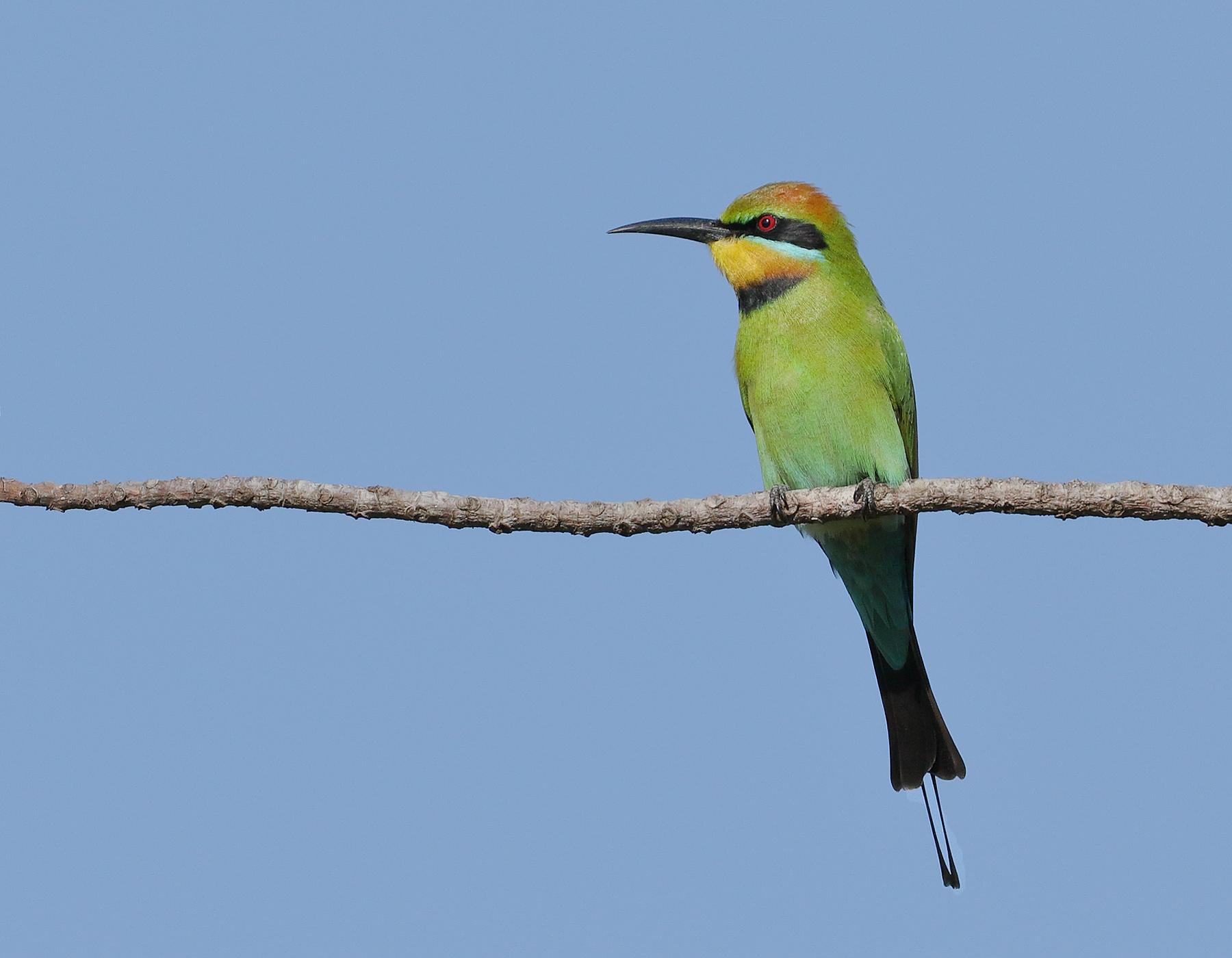 Rainbow Bee-eater (Image ID 40205)