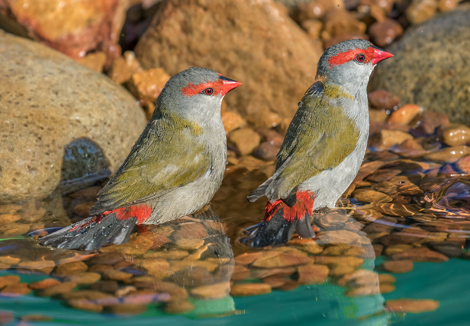 Red-browed Finch (Image ID 39896)