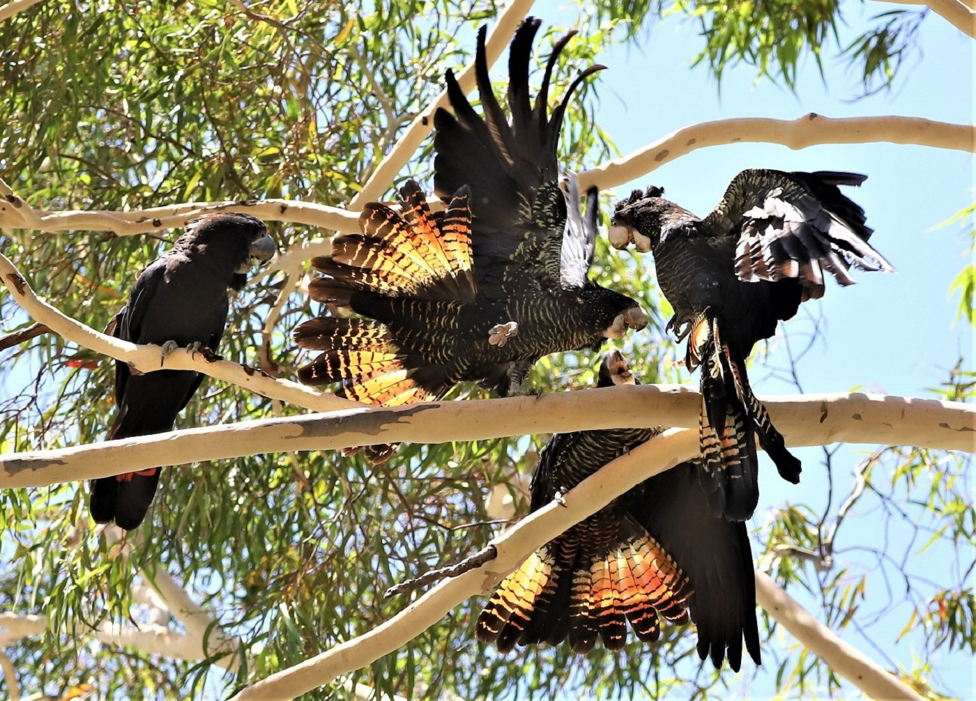 Red-tailed Black-Cockatoo (Image ID 40039)