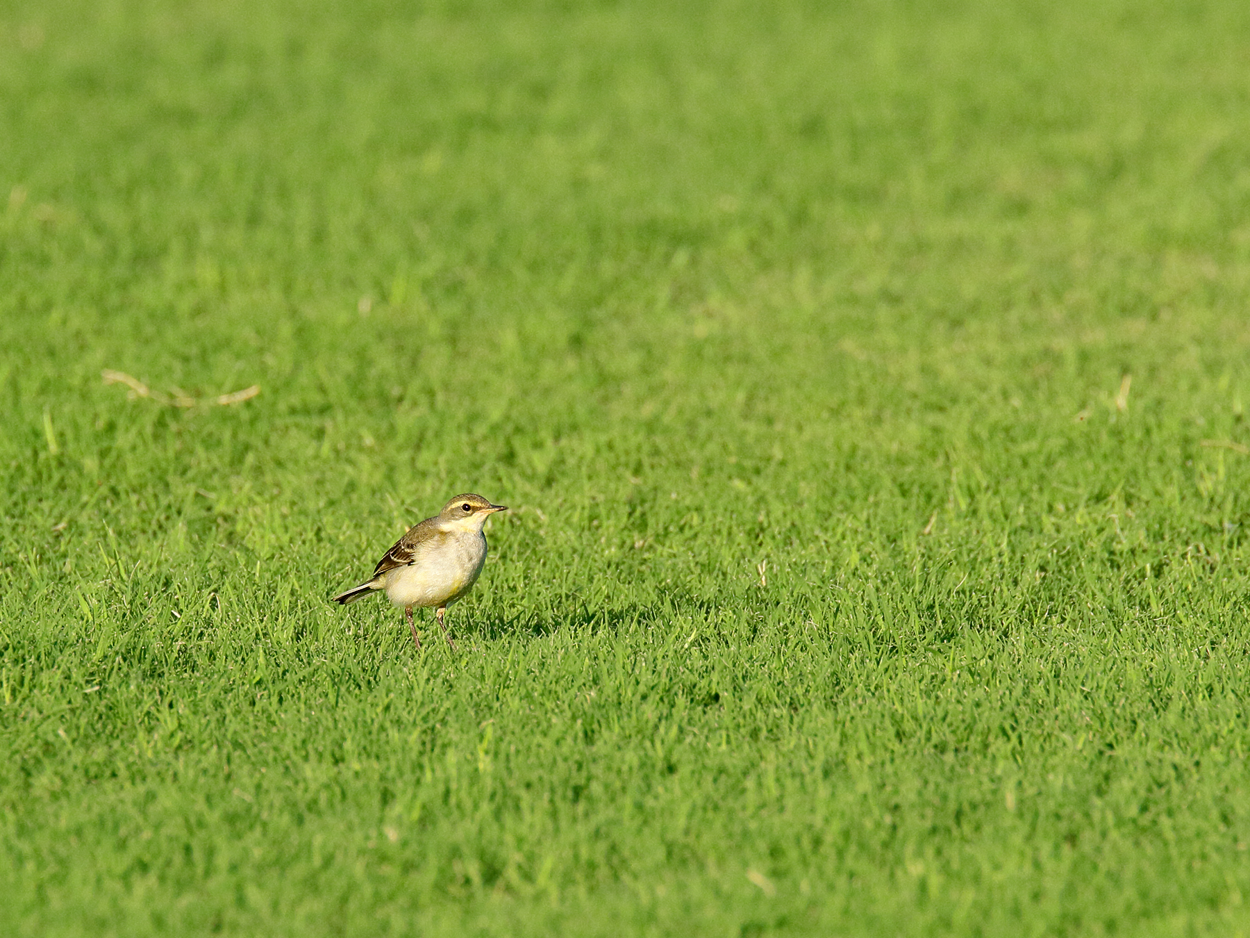 Eastern Yellow Wagtail (Image ID 39874)