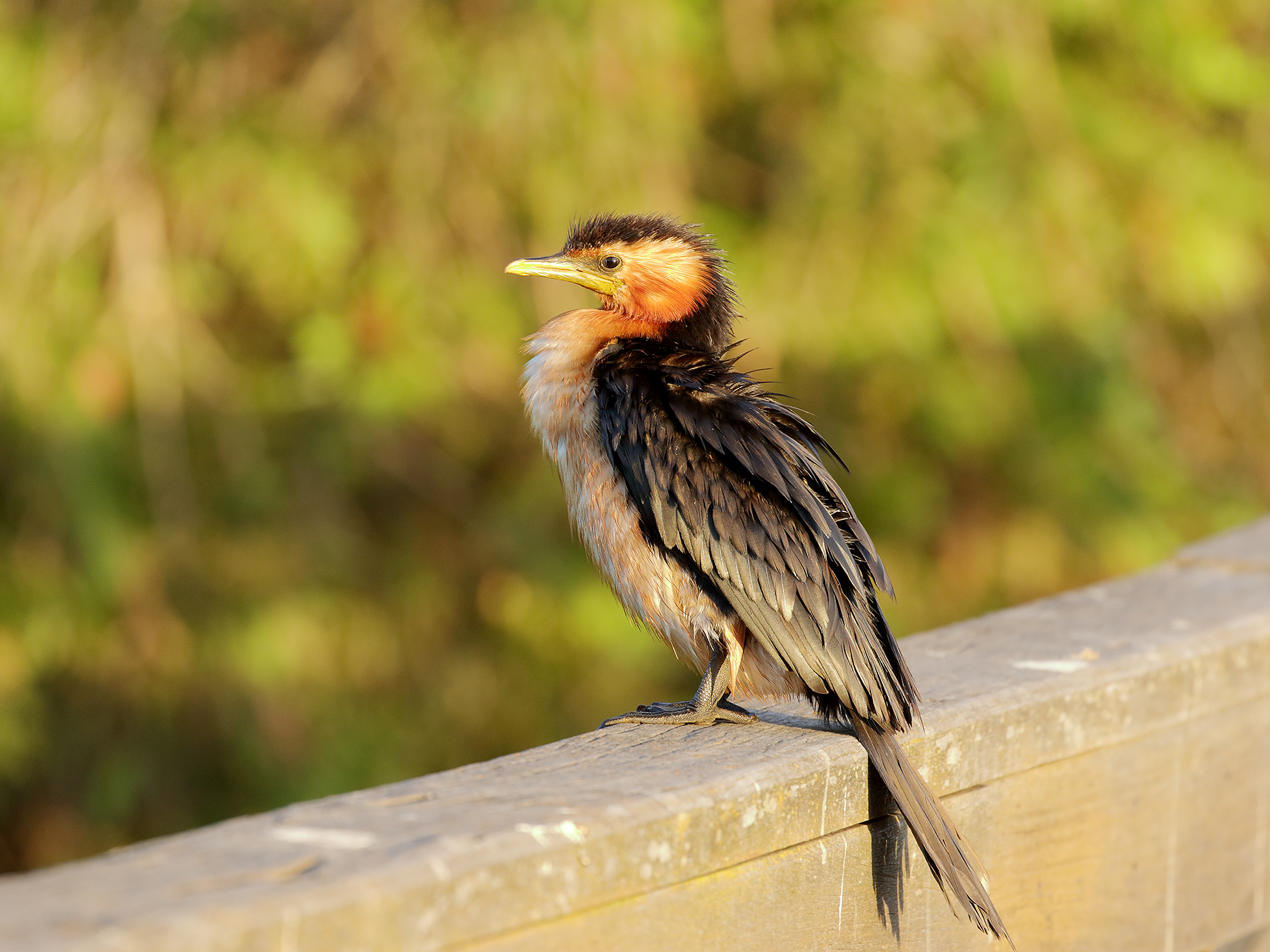 Little Pied Cormorant (Image ID 40013)
