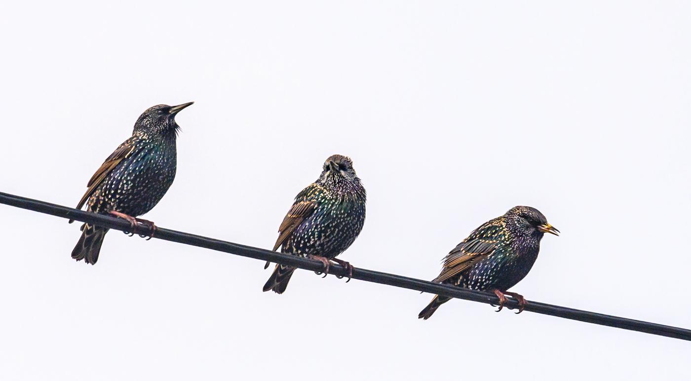 Common Starling (Image ID 40094)