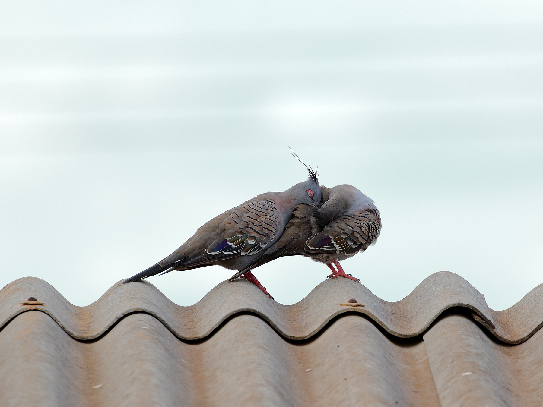 Crested Pigeon (Image ID 40174)