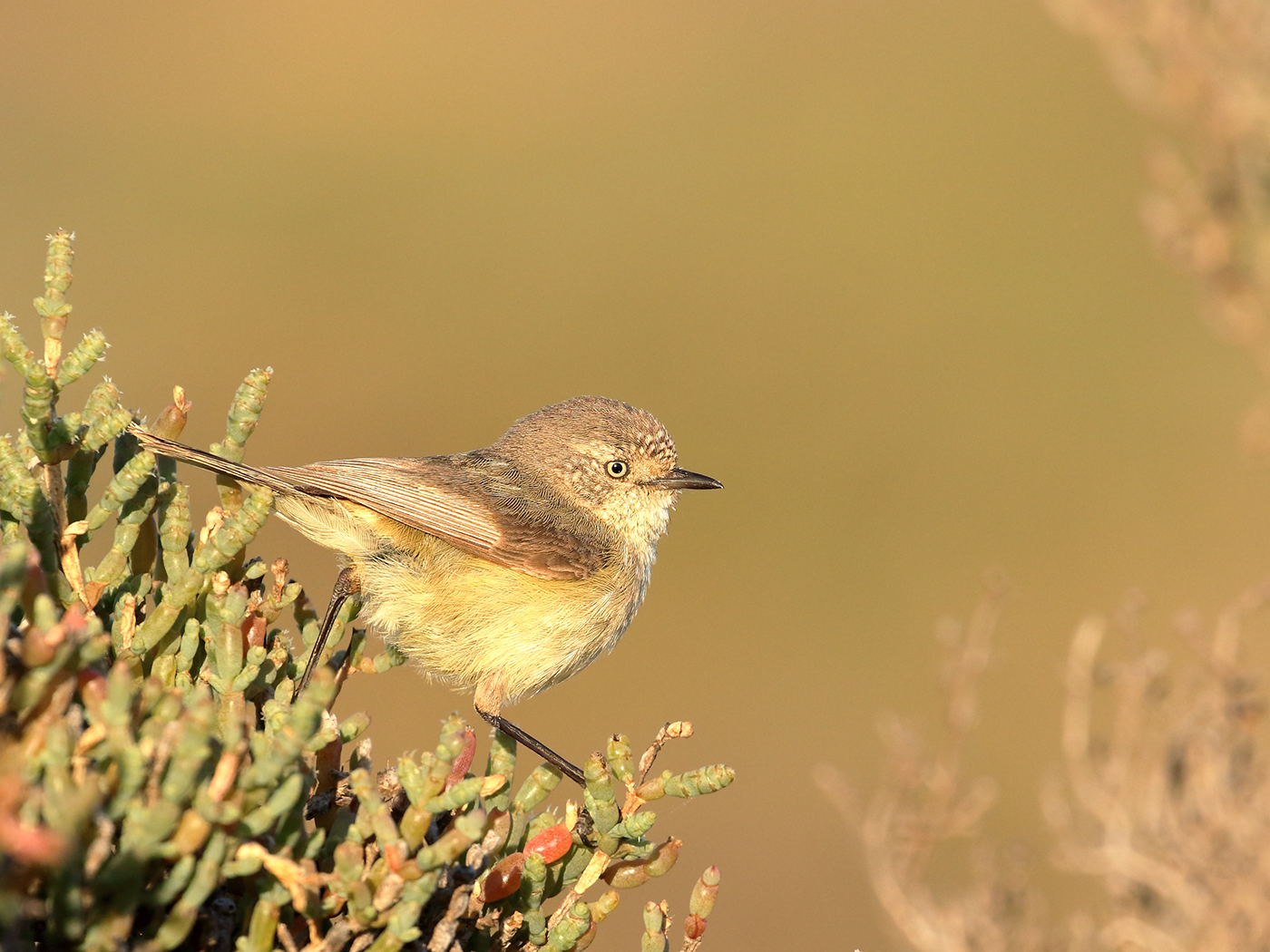 Slender-billed Thornbill (Image ID 39819)