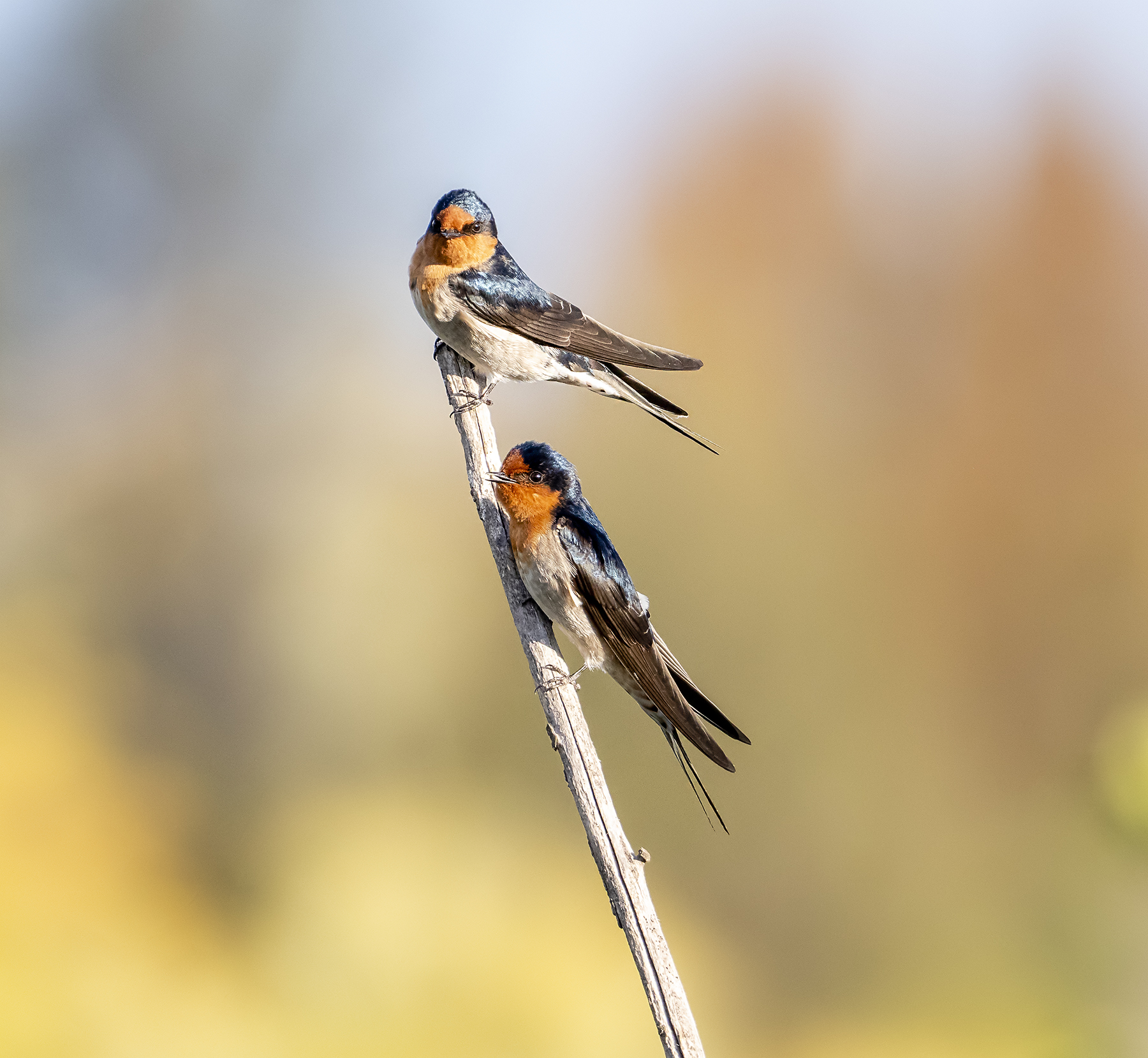 Welcome Swallow (Image ID 40289)