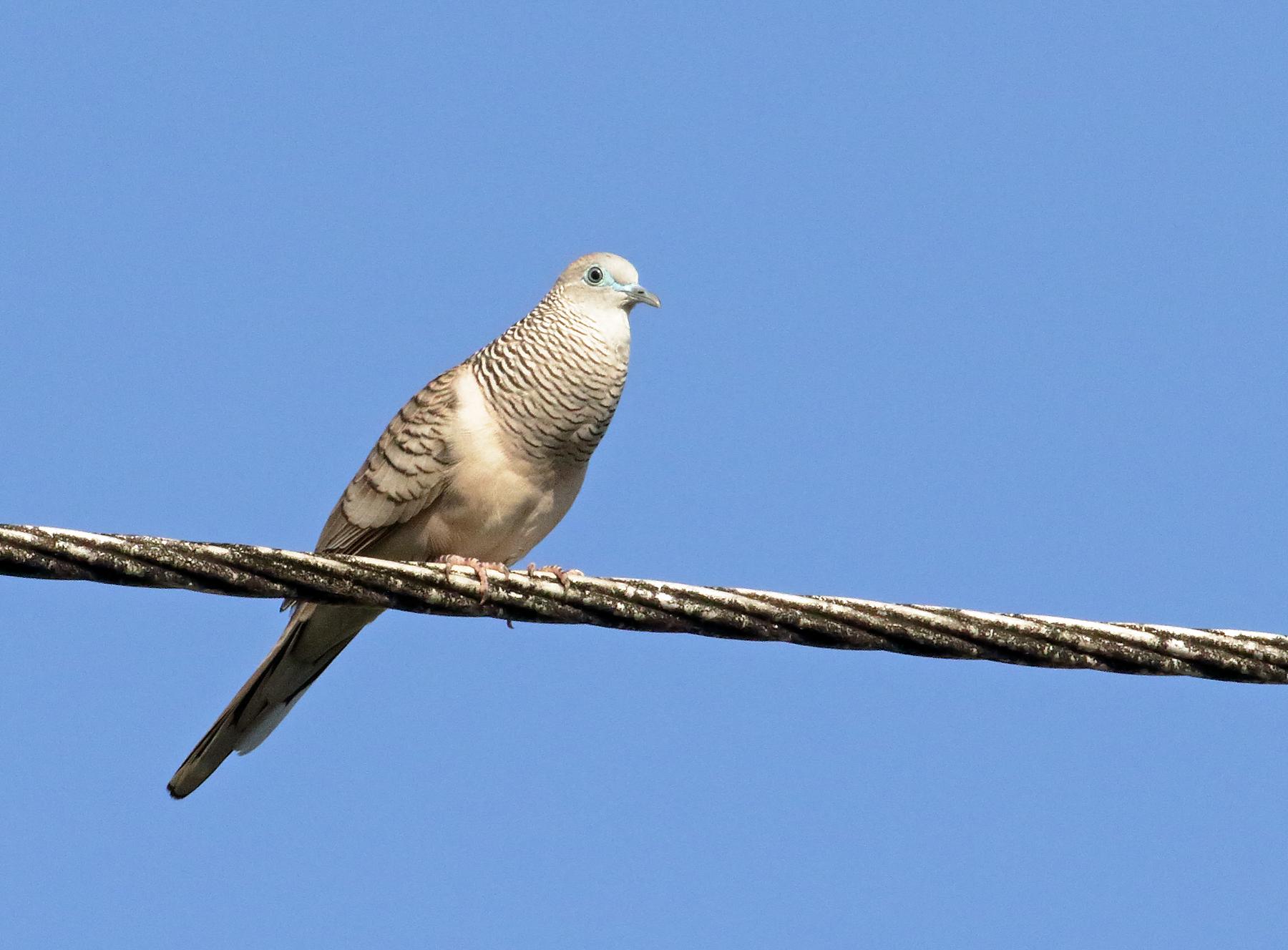 Peaceful Dove (Image ID 39881)