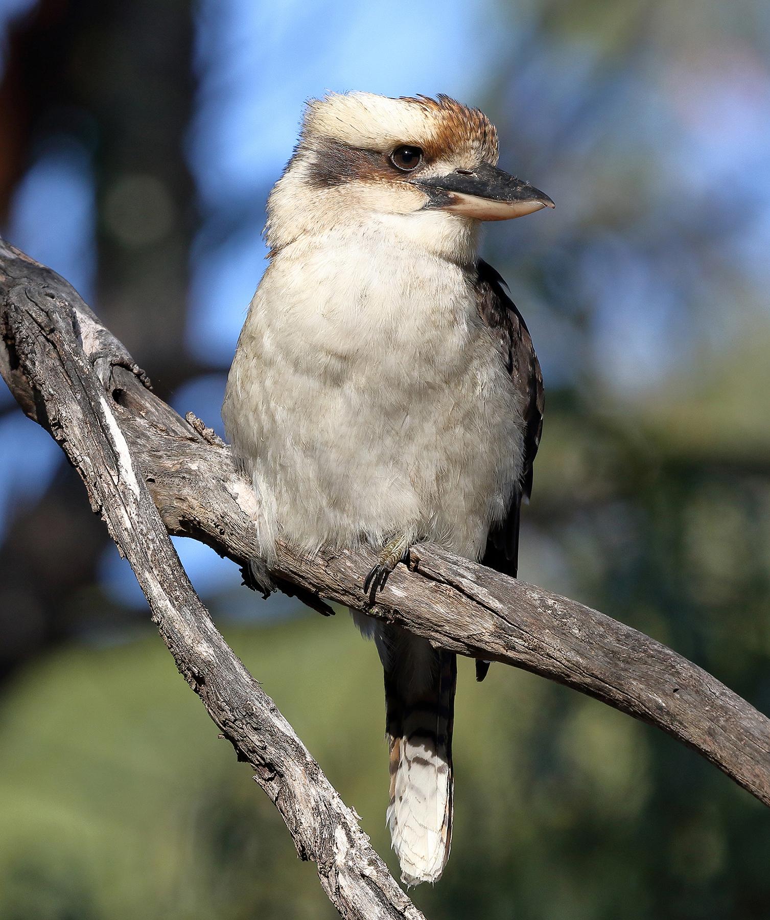Laughing Kookaburra (Image ID 39942)