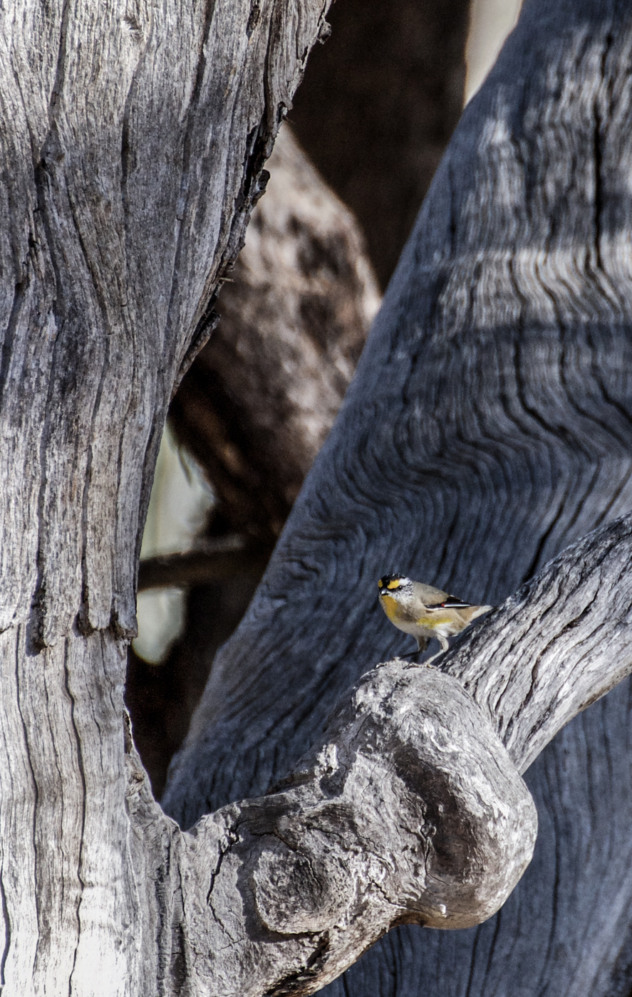 Striated Pardalote (Image ID 39963)