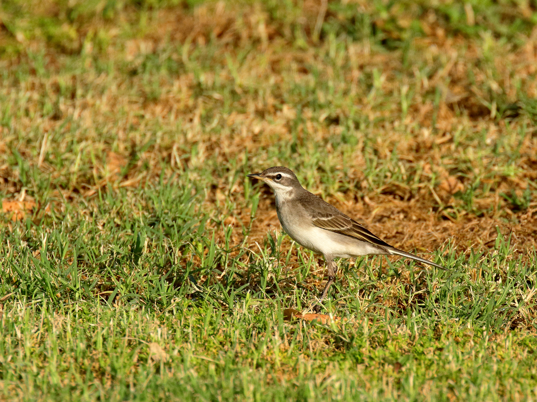 Eastern Yellow Wagtail (Image ID 39875)