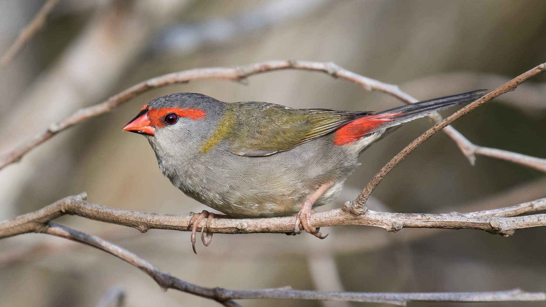Red-browed Finch (Image ID 40168)