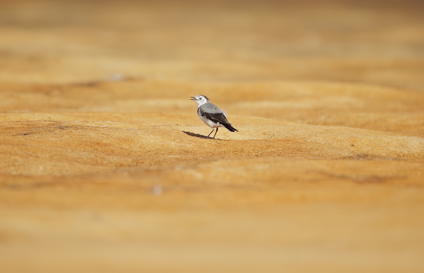 White-fronted Chat (Image ID 39843)