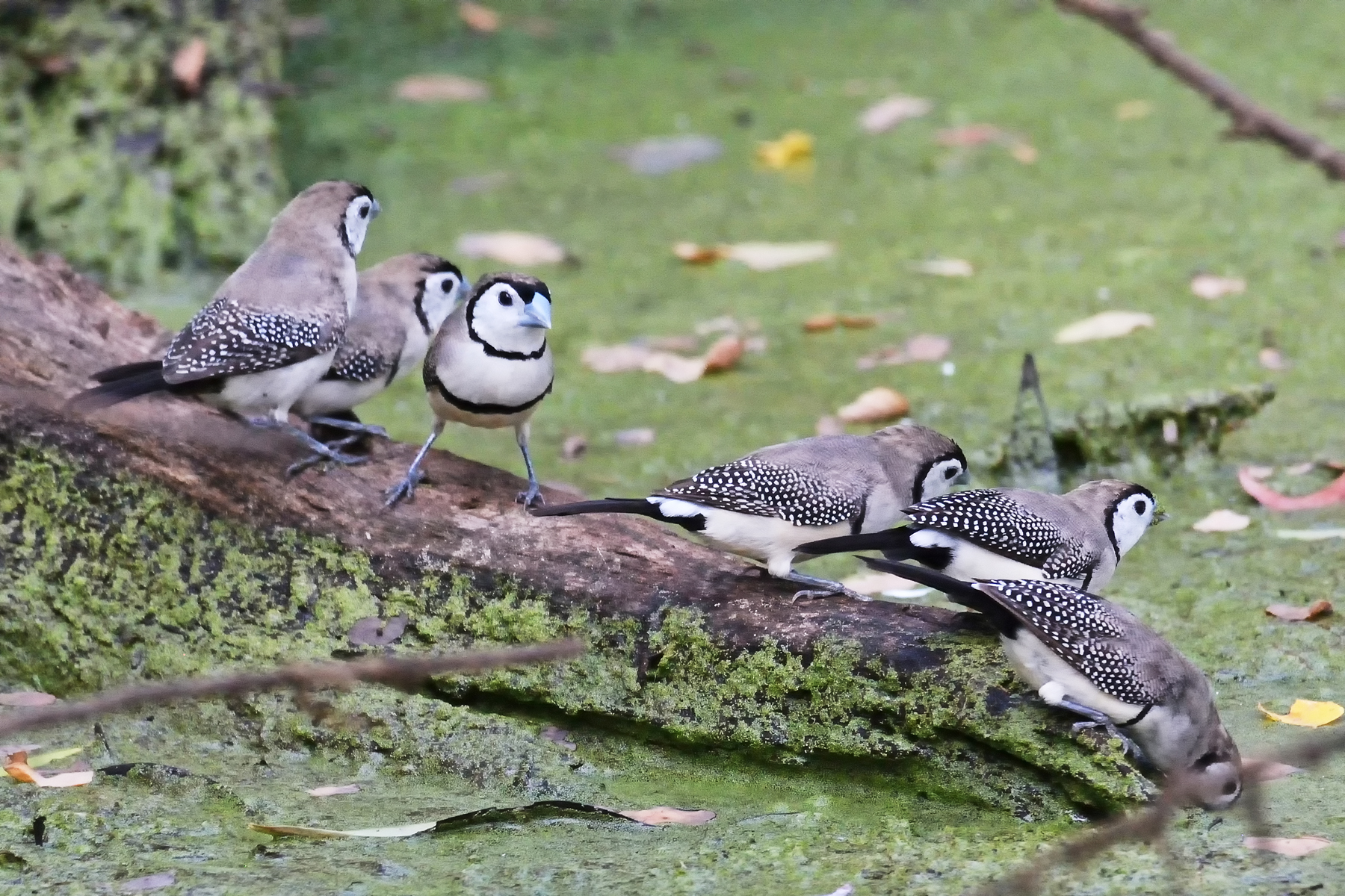 Double-barred Finch (Image ID 40170)