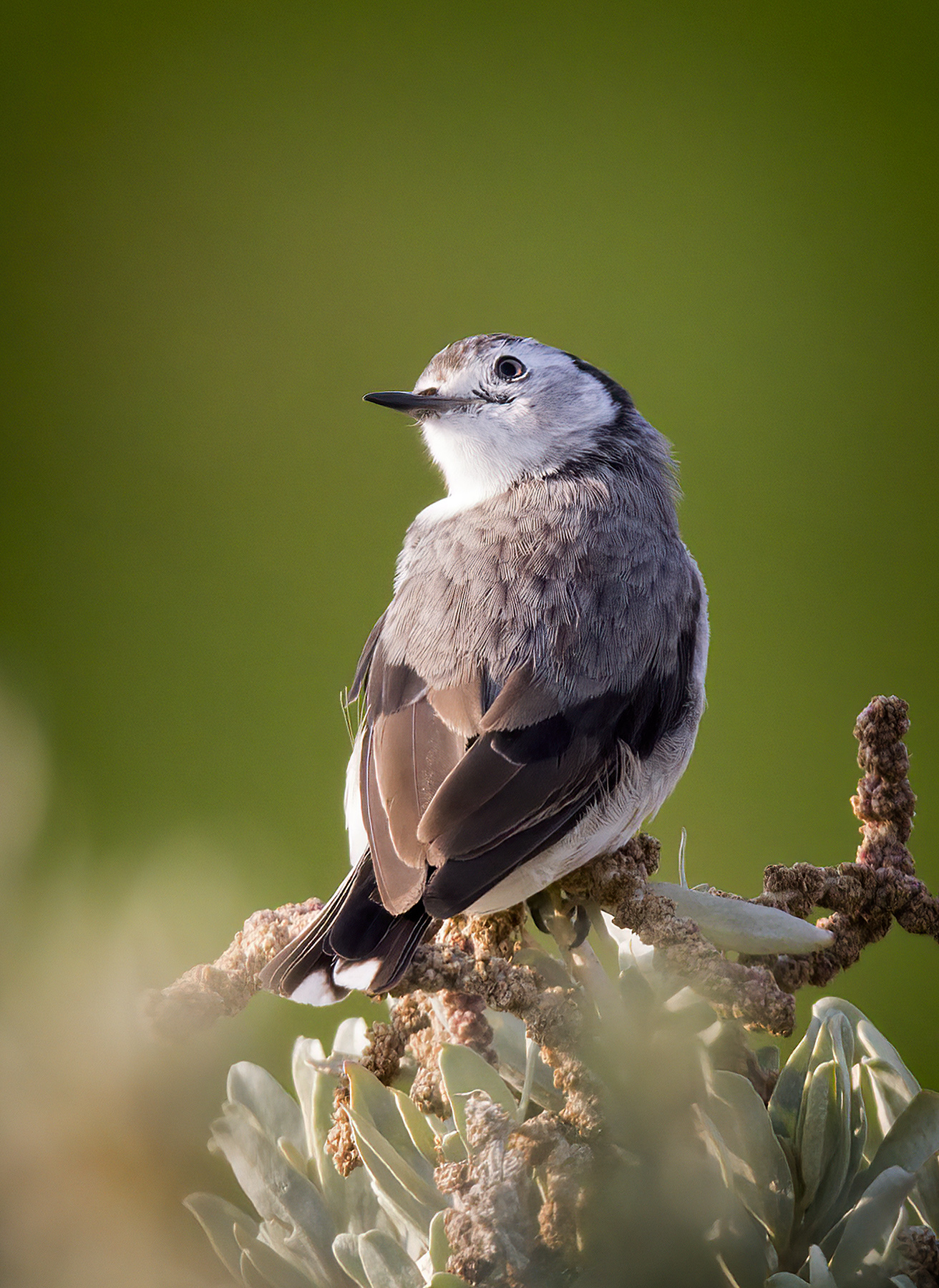 White-fronted Chat (Image ID 40270)
