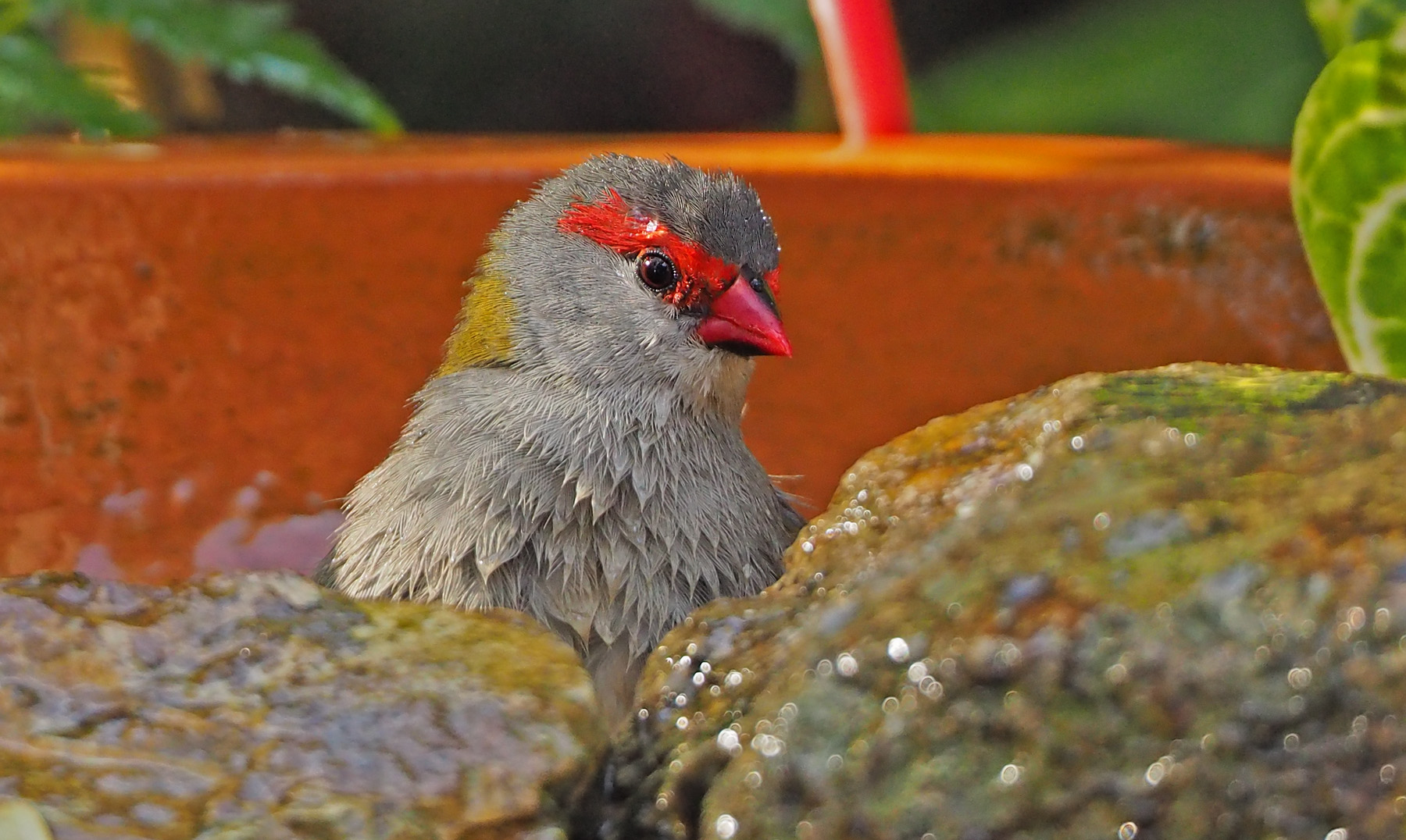 Red-browed Finch (Image ID 40141)
