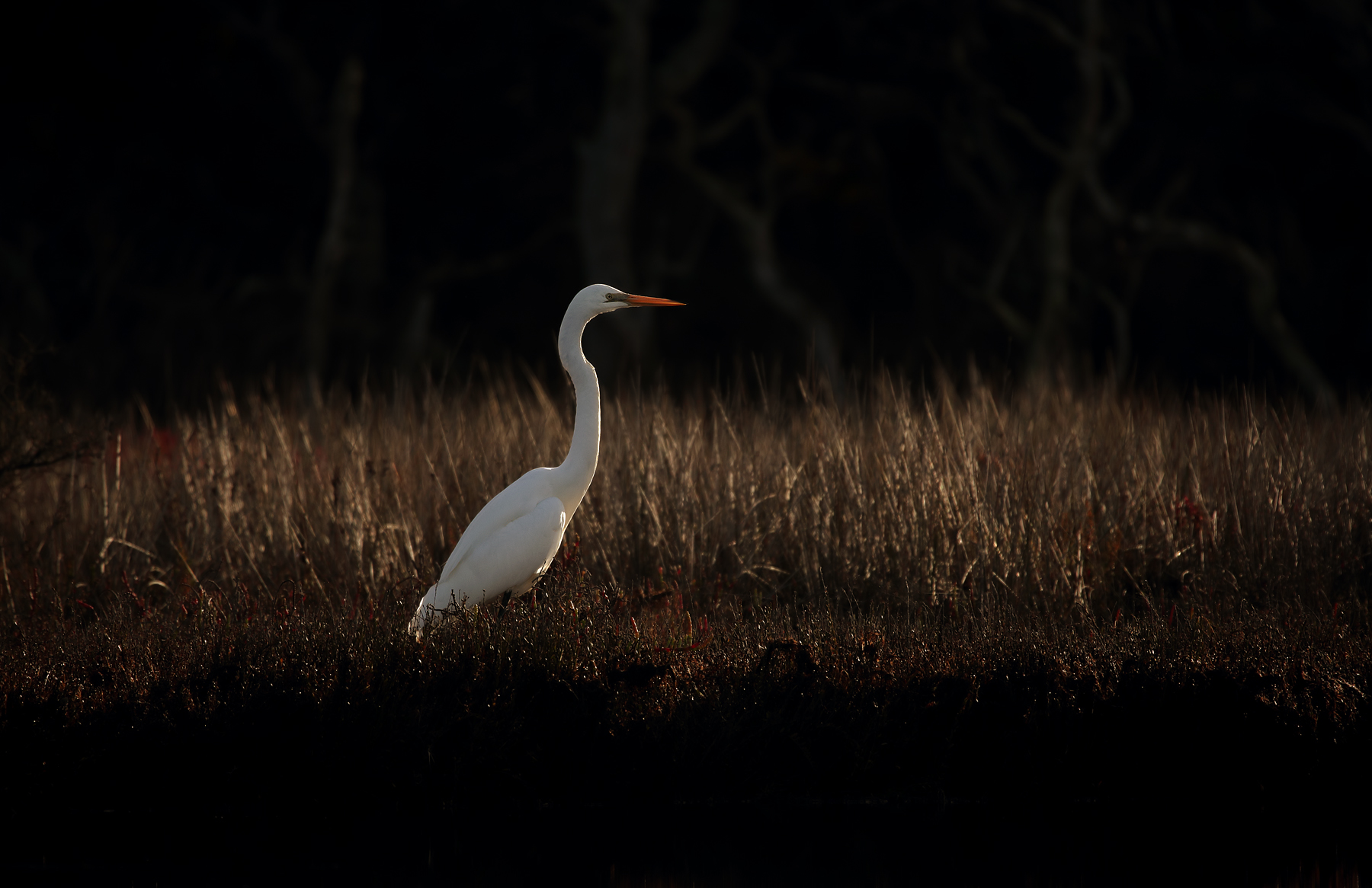 Great Egret (Image ID 40235)