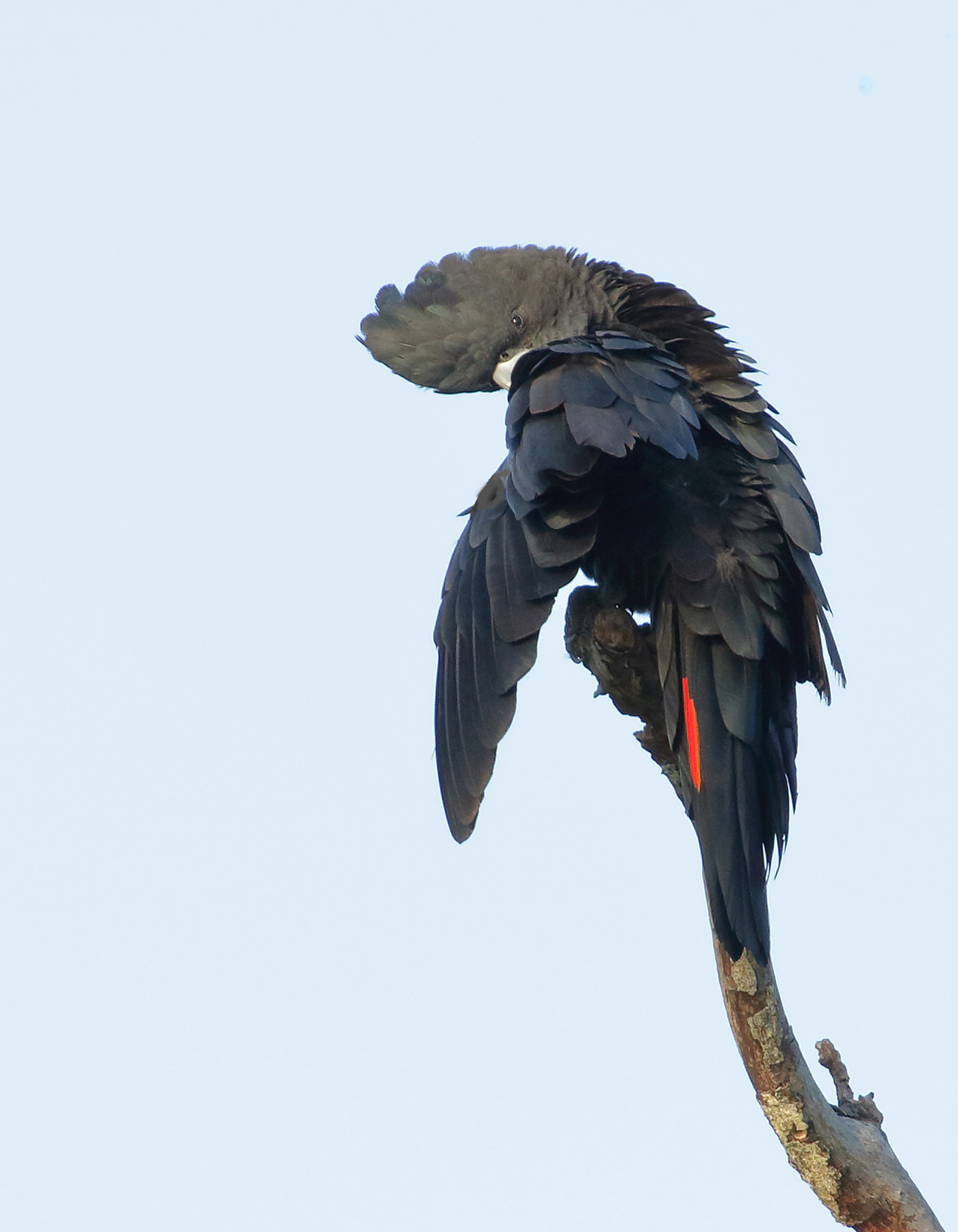Red-tailed Black-Cockatoo (Image ID 40010)