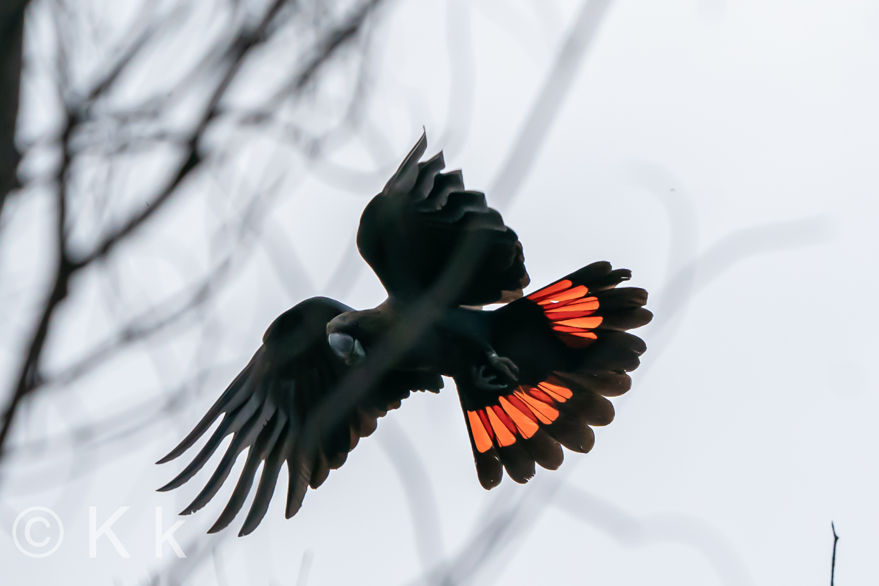 Glossy Black-Cockatoo (Image ID 40102)