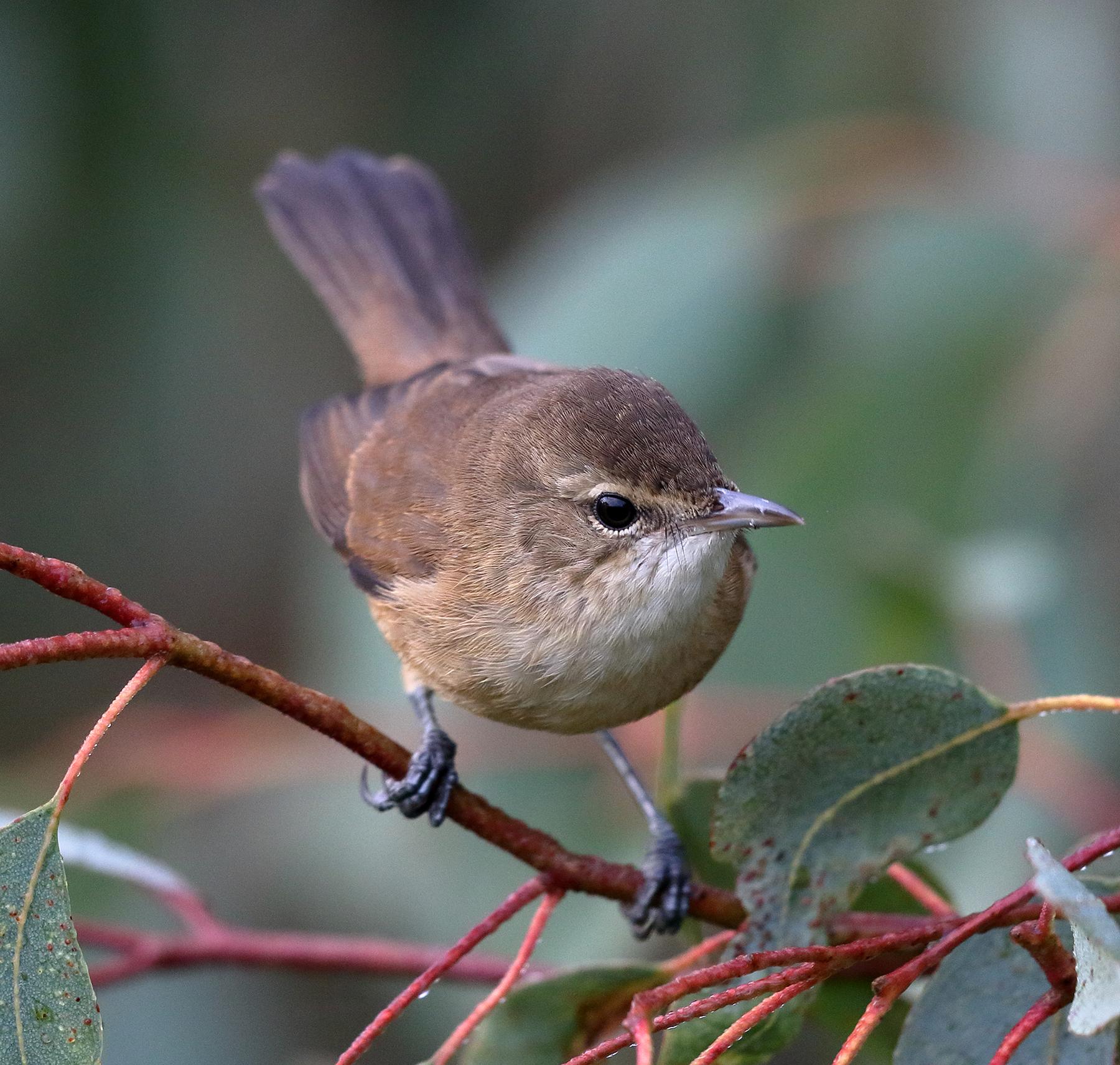 Australian Reed-Warbler (Image ID 40264)