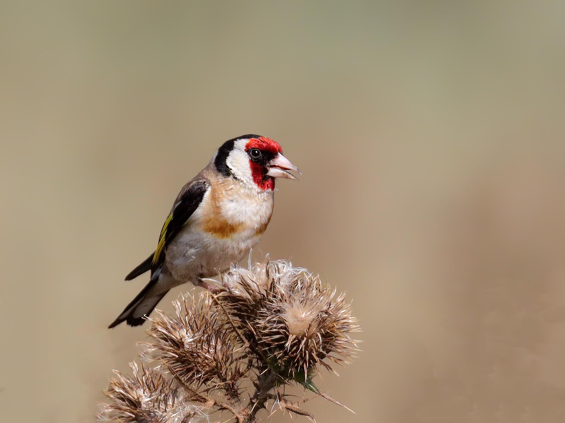 European Goldfinch (Image ID 39858)