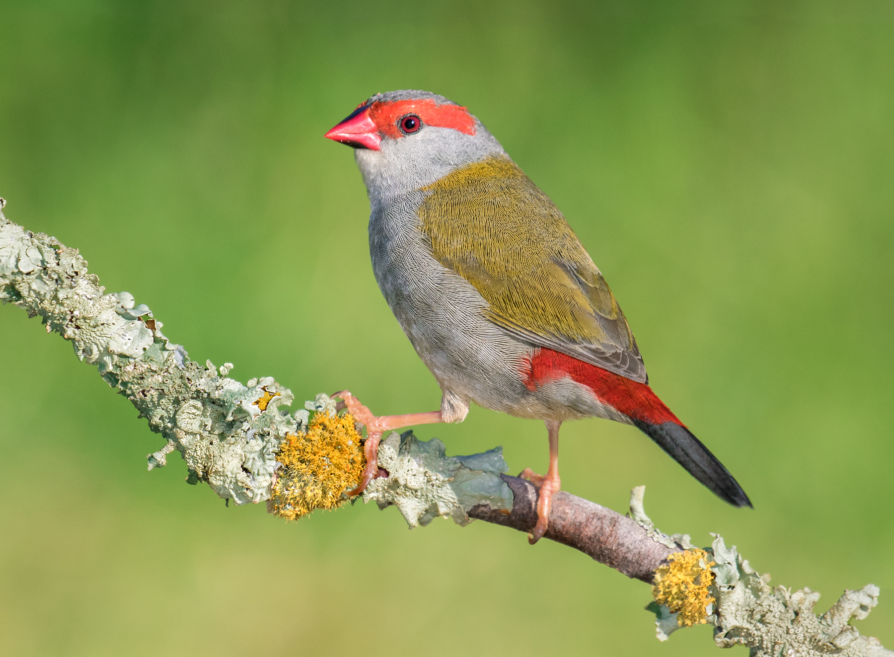 Red-browed Finch (Image ID 39899)