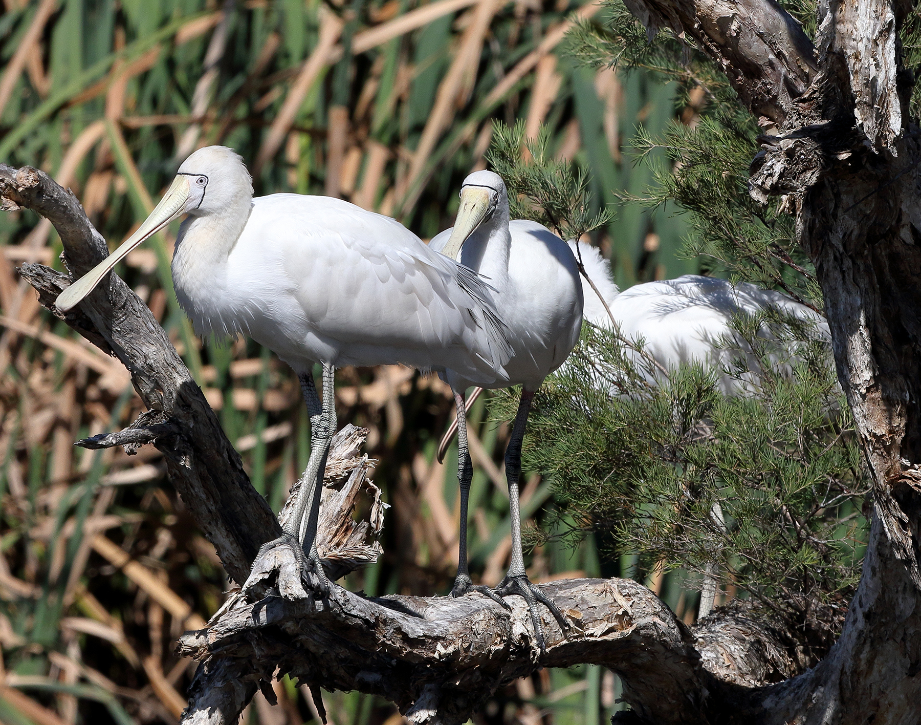 Yellow-billed Spoonbill (Image ID 40031)