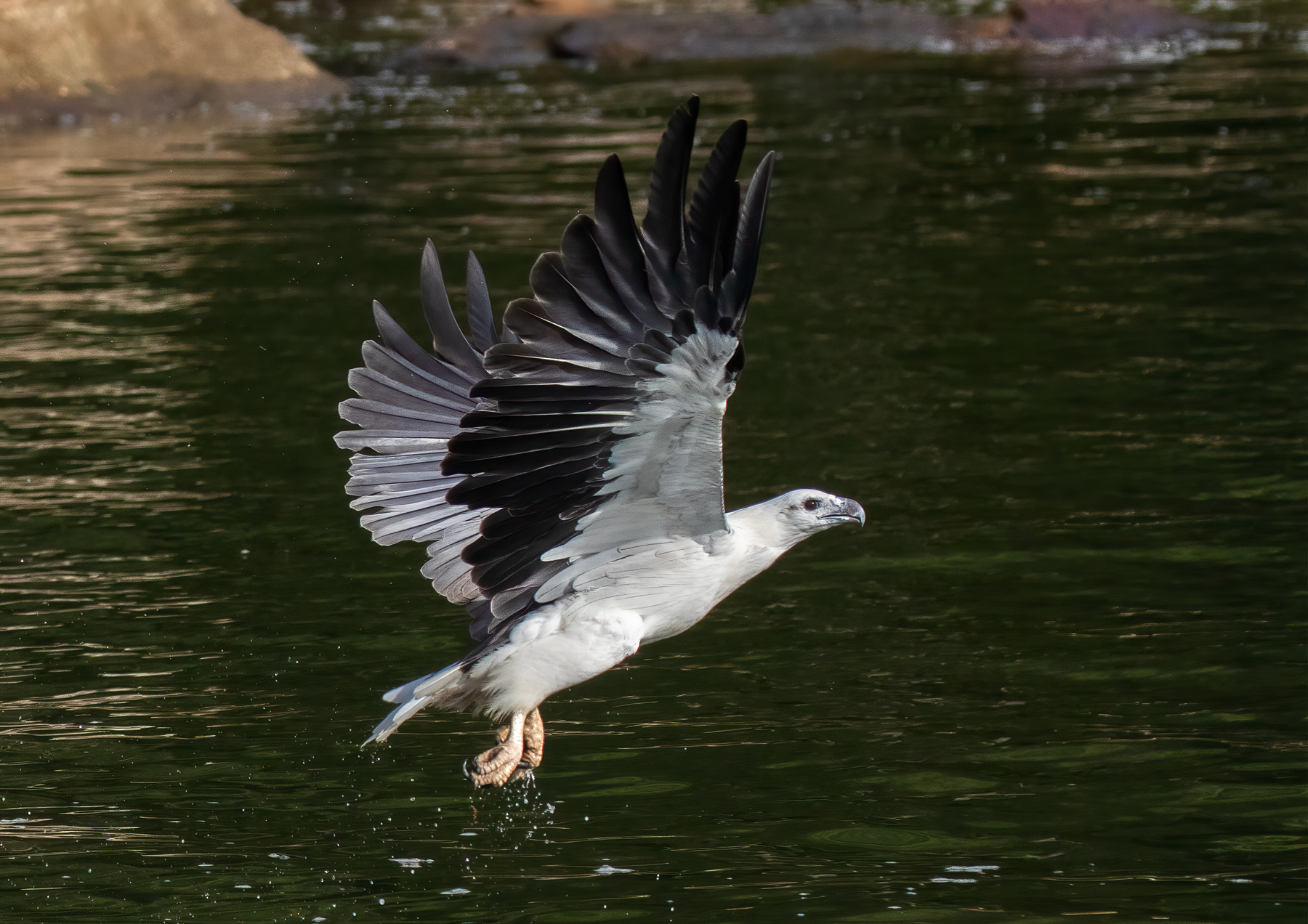 White-bellied Sea-Eagle (Image ID 39996)
