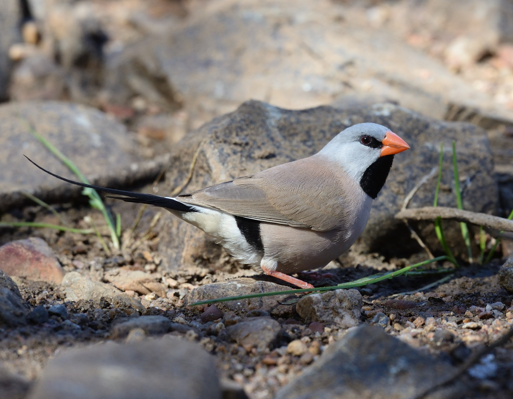 Long-tailed Finch (Image ID 40241)