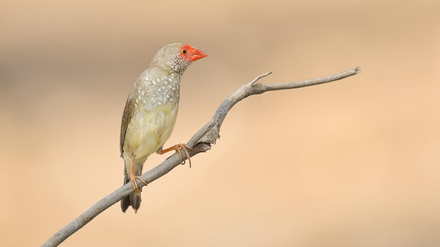Star Finch (Image ID 40229)