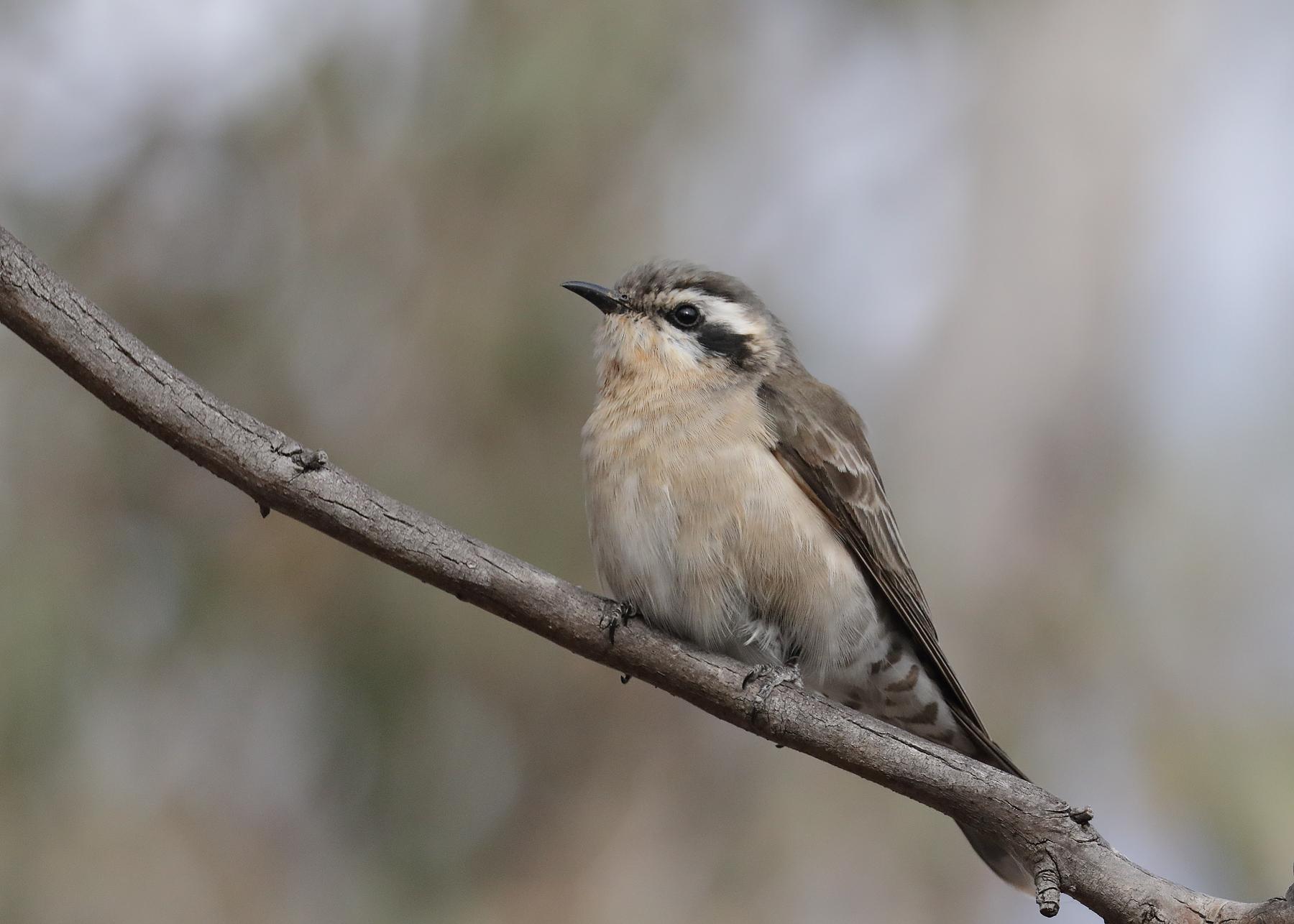 Black-eared Cuckoo (Image ID 40156)