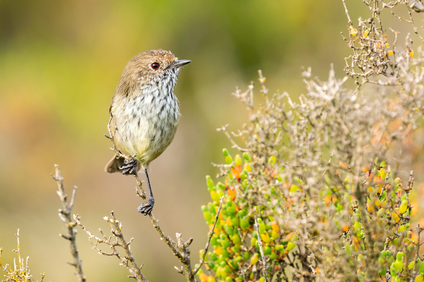 Brown Thornbill (Image ID 40266)