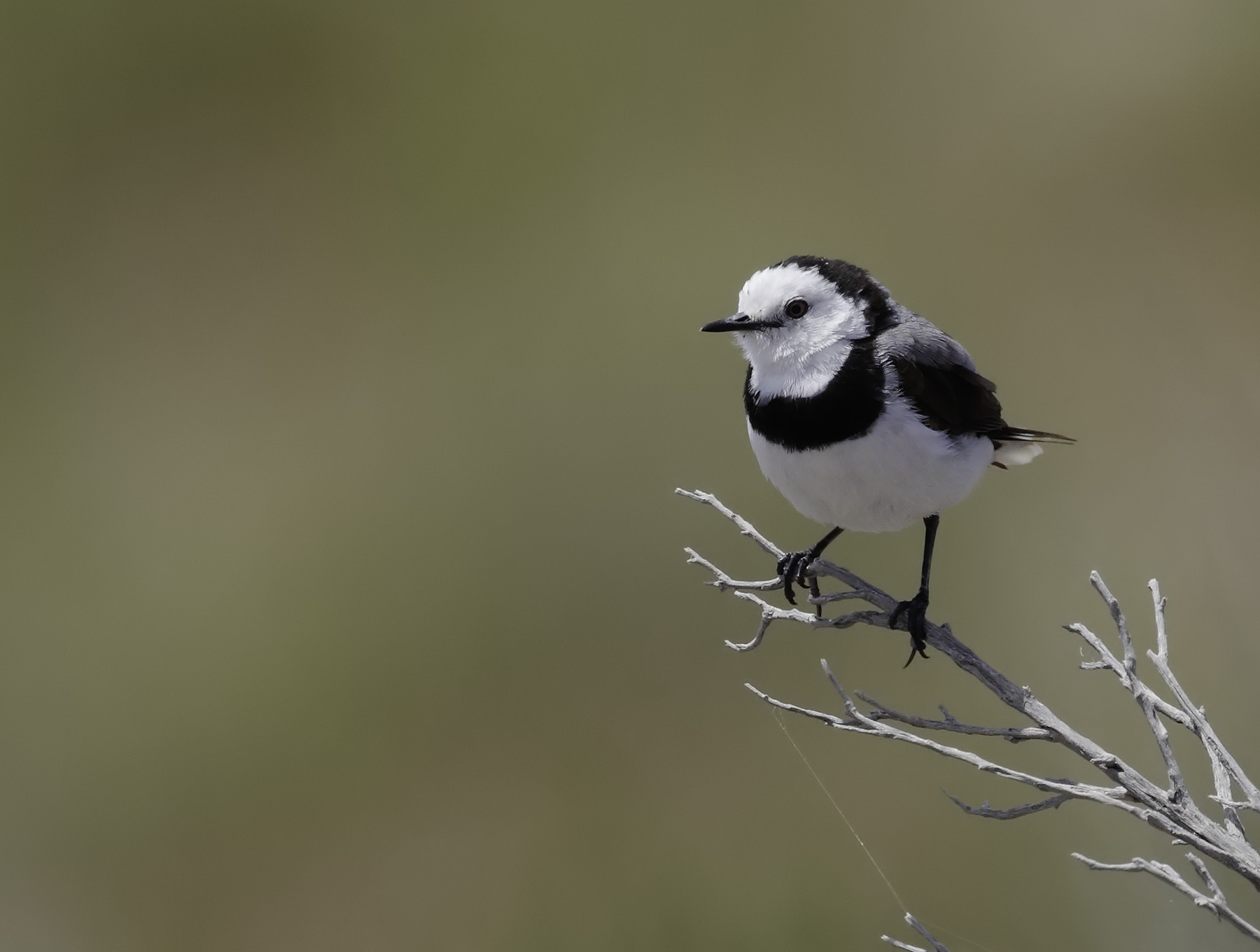 White-fronted Chat (Image ID 39813)