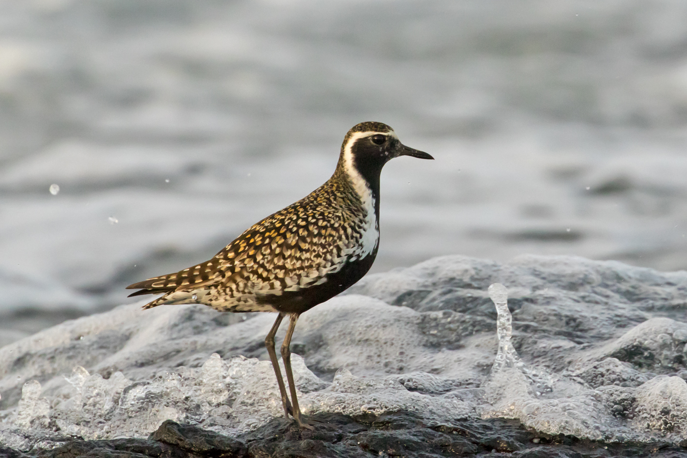 Pacific Golden Plover (Image ID 40076)