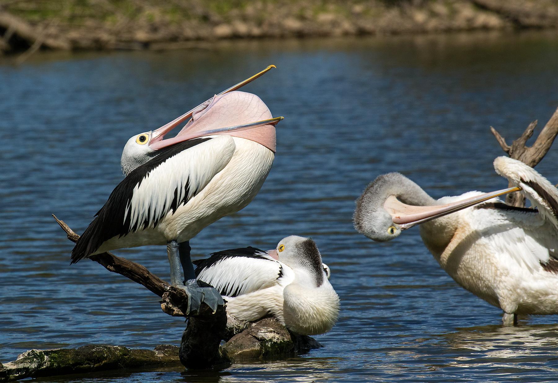 Australian Pelican (Image ID 39979)