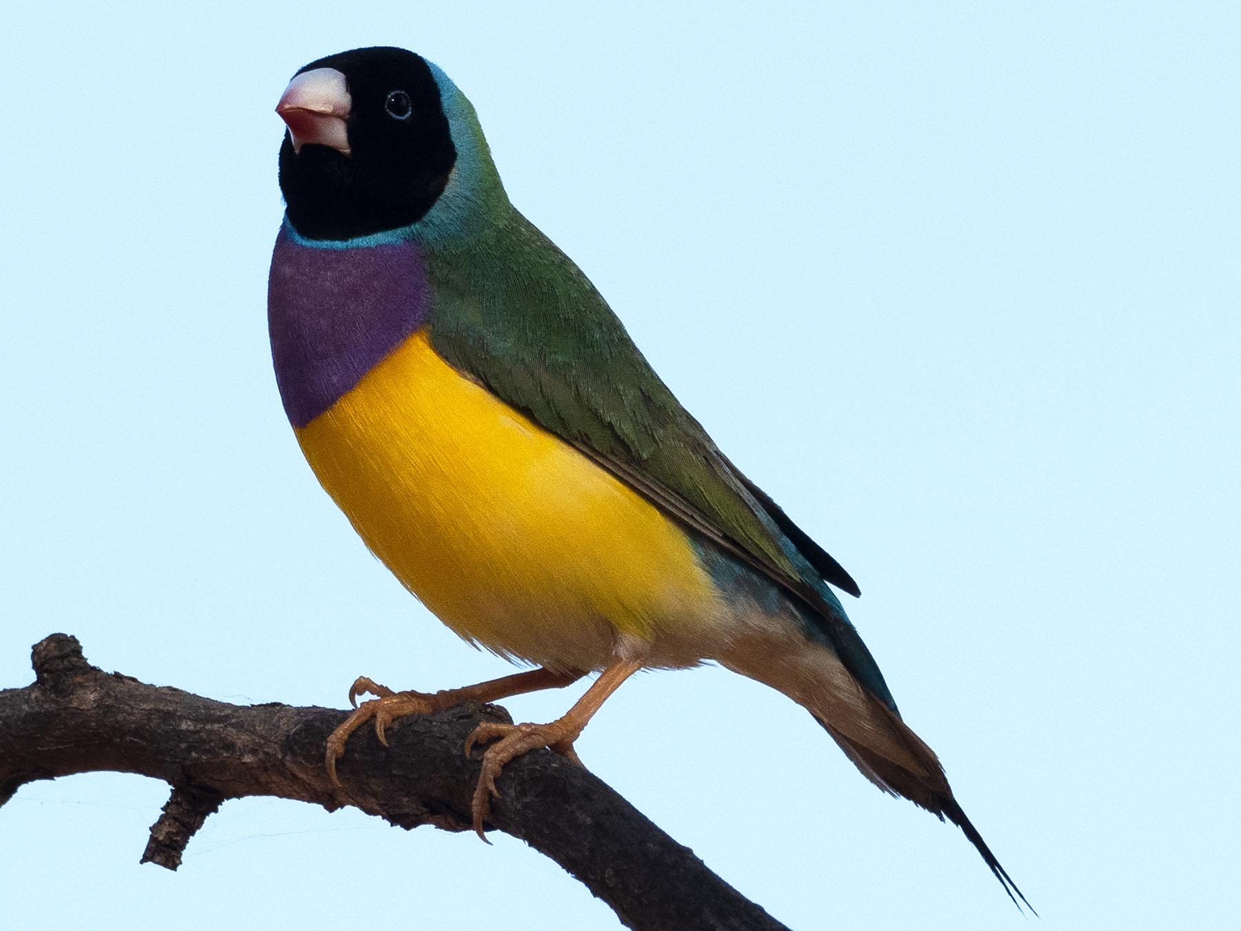 Gouldian Finch (Image ID 40159)