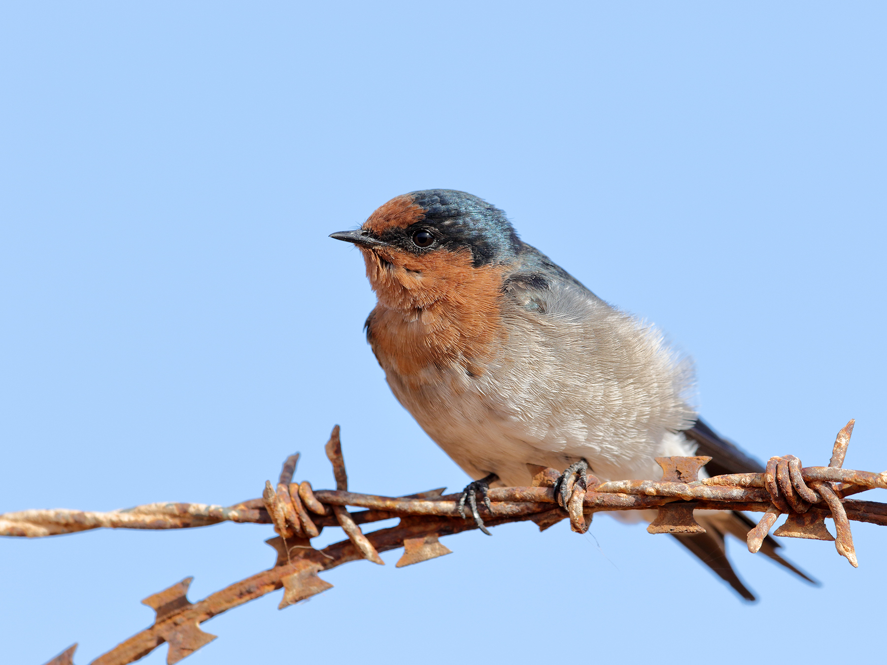 Welcome Swallow (Image ID 40175)