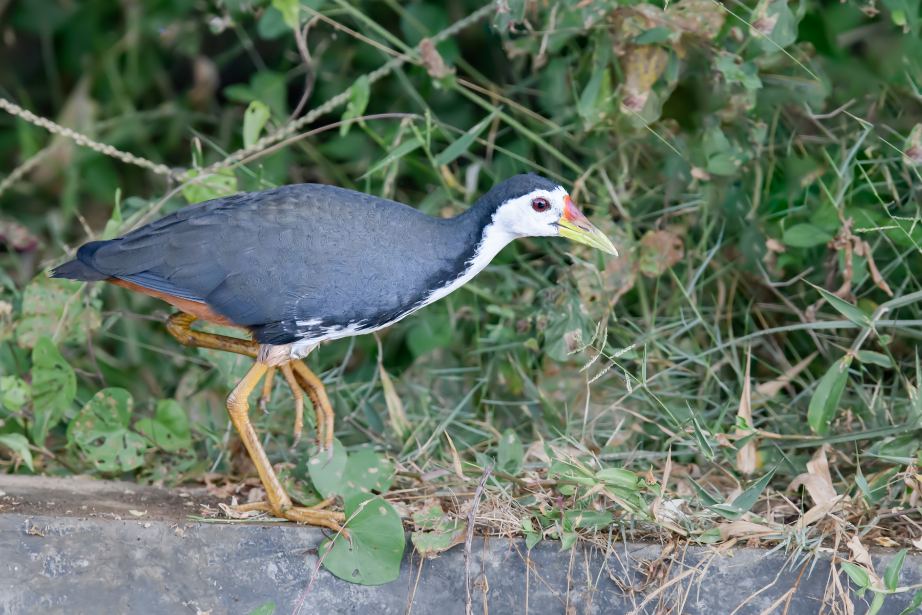 White-breasted Waterhen (Image ID 39835)