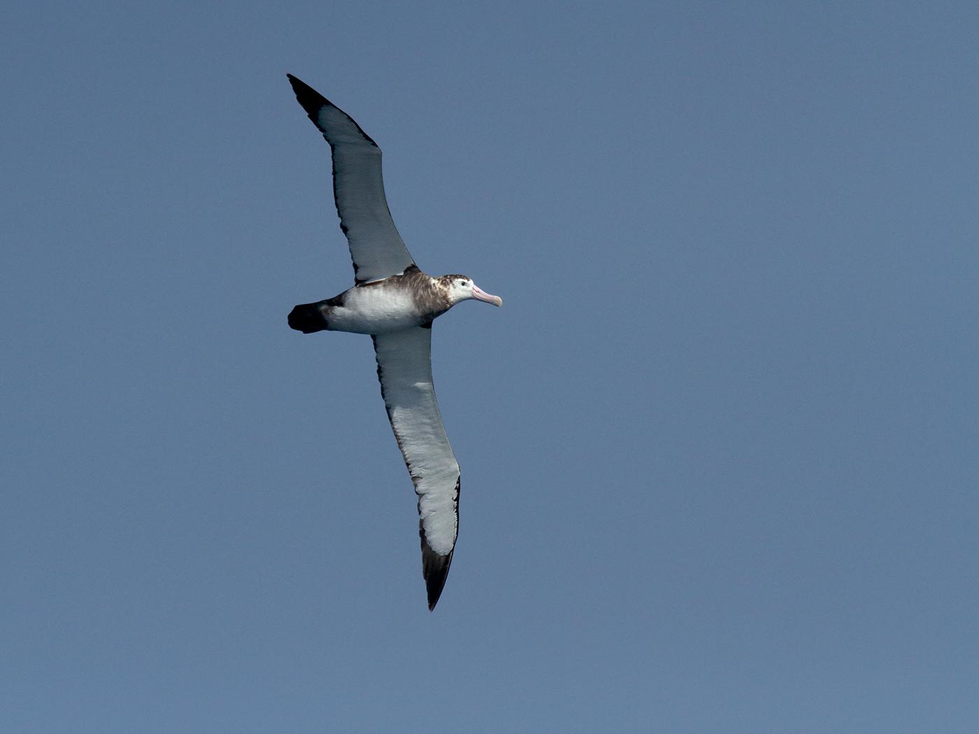 Antipodean Albatross (Image ID 39842)