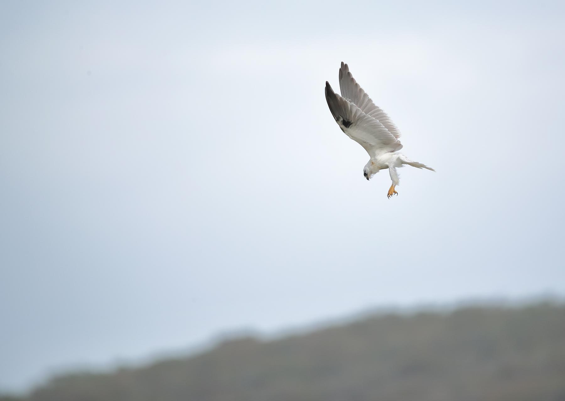 Black-shouldered Kite (Image ID 40234)