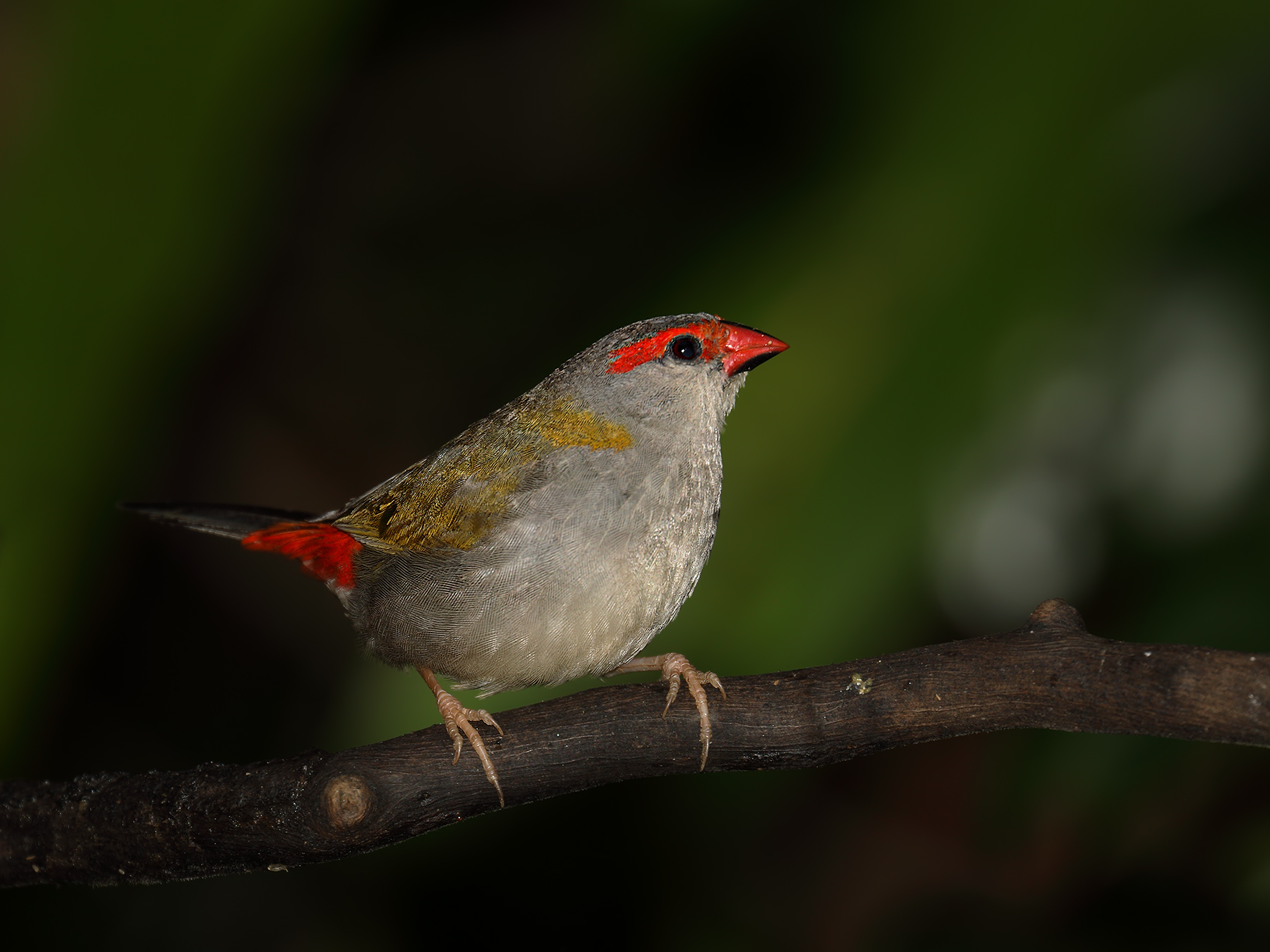 Red-browed Finch (Image ID 39992)