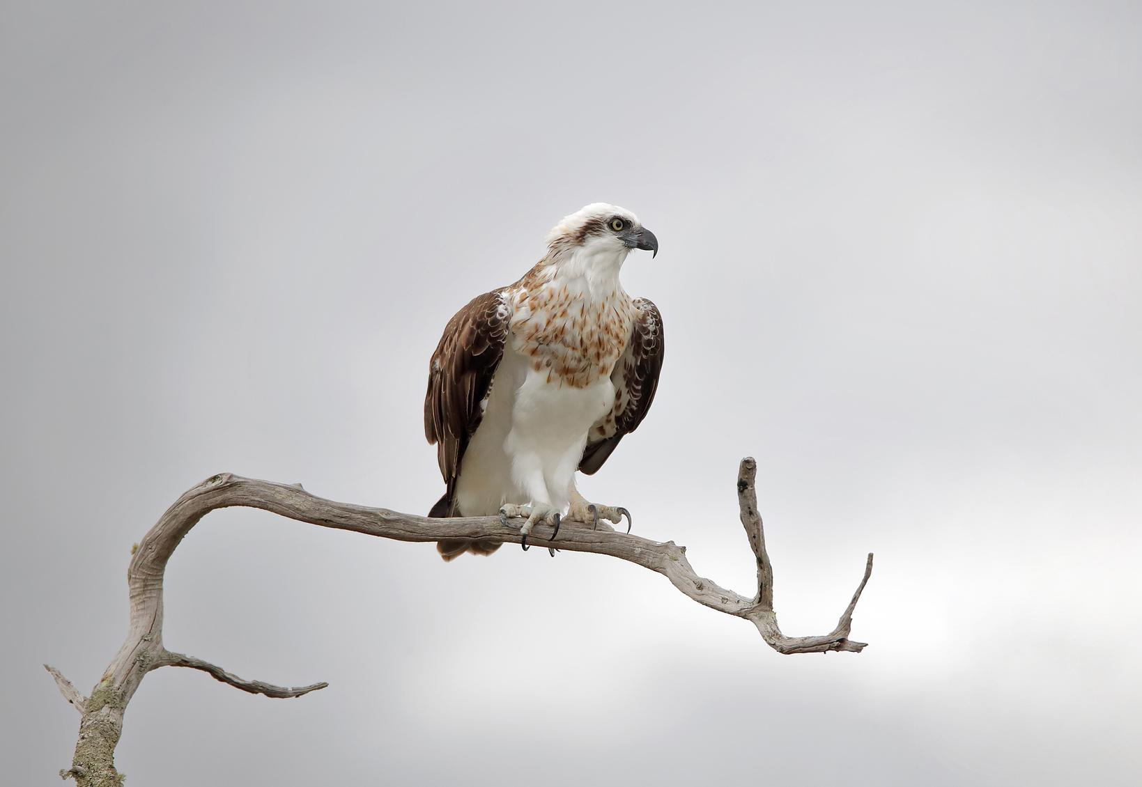 Osprey (Image ID 40186)