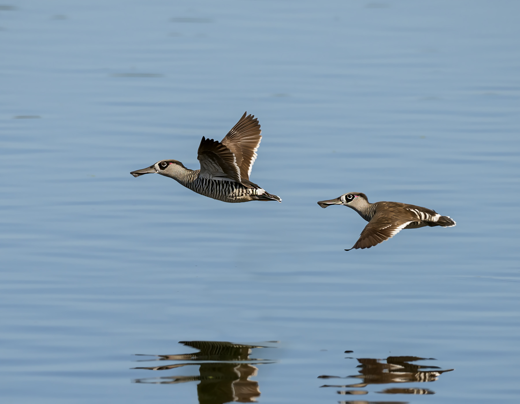 Pink-eared Duck (Image ID 39907)
