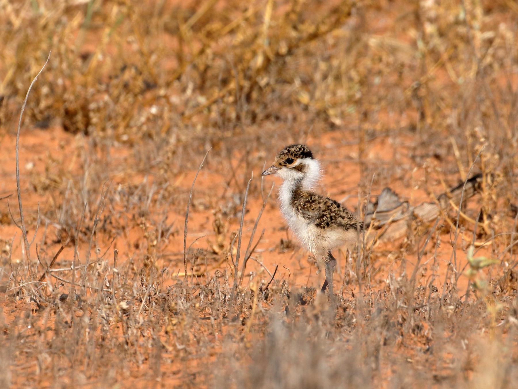 Banded Lapwing (Image ID 39866)