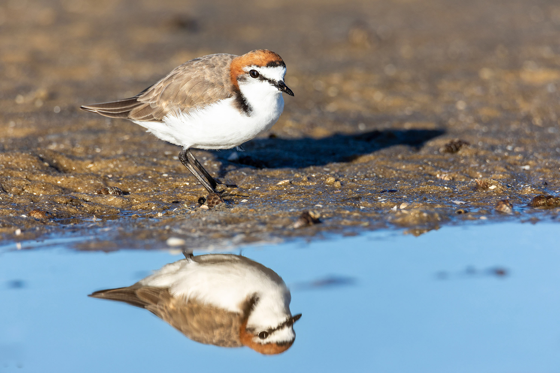 Red-capped Plover (Image ID 40005)